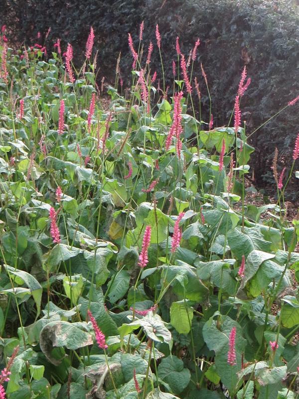 Persicaria 'Firetail'
