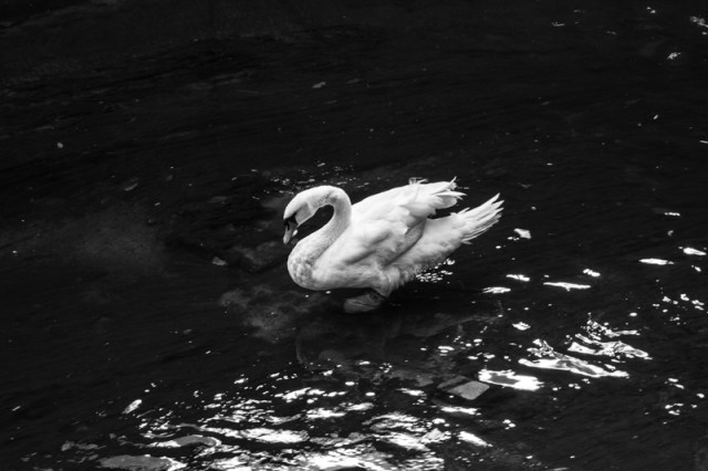 Single swan in the Ravensbourne River in Broadfields Park