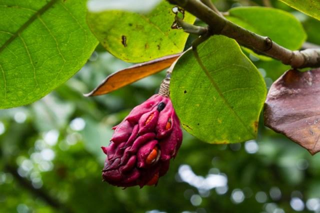Magnolia seedpod