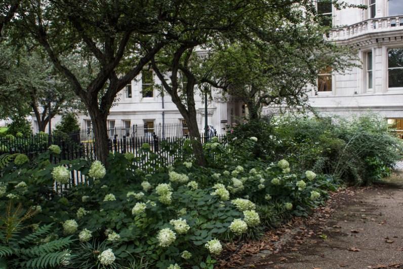 Hydrangea Paniculata 'Limelight', I think