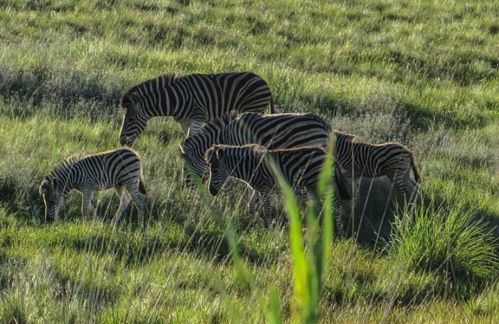 Zebra in the Golden Gate National Park
