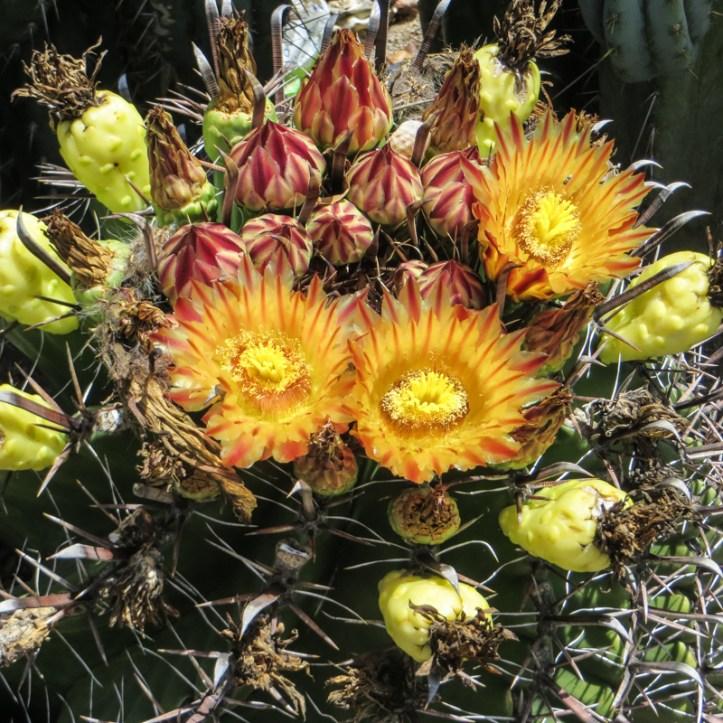 Cactus flowers in Graaff Reinet