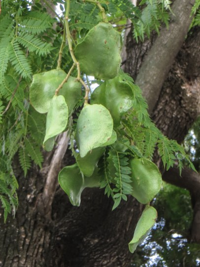 Jacaranda Tree pods