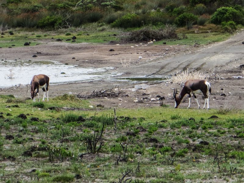 Bontebok in De Hoop Nature Reserve
