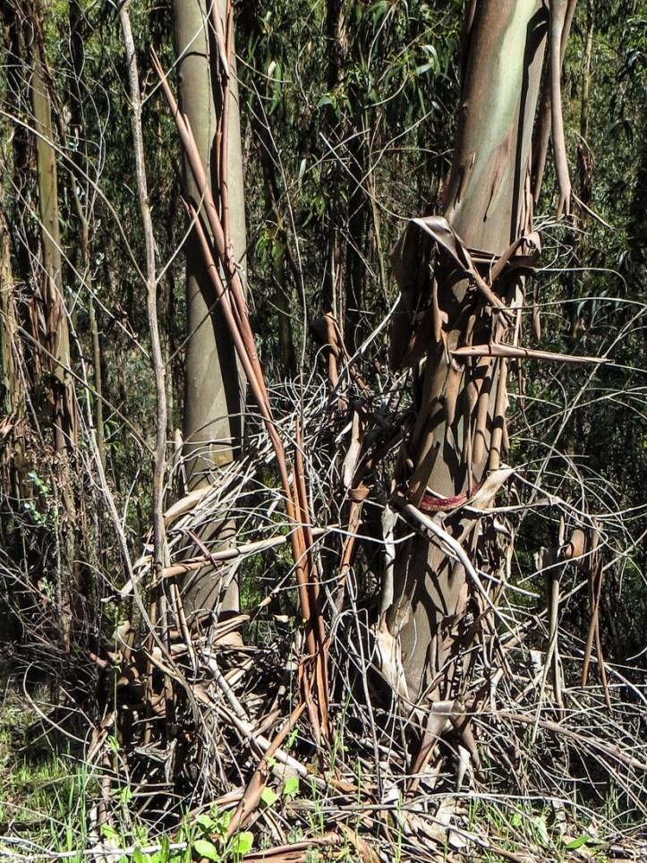 Eucalyptus trees at Montalvao