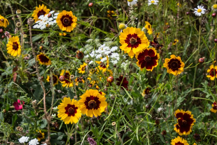 The wildflowers in The Walled Garden, Ickworth House