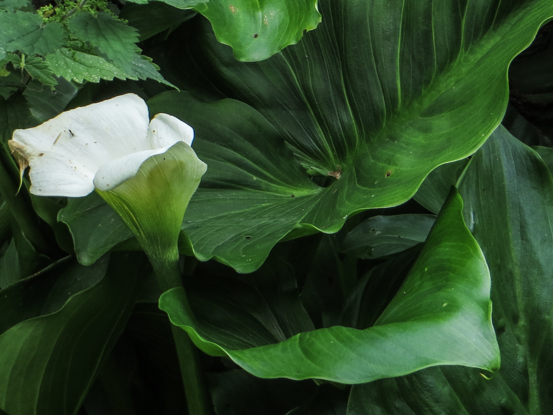 Arum Lily in green lanes in Brittany