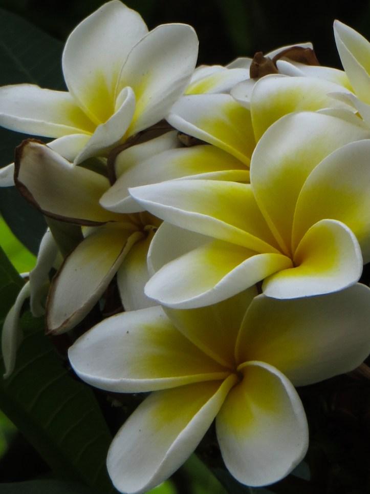 Frangipane flowering in Wellington