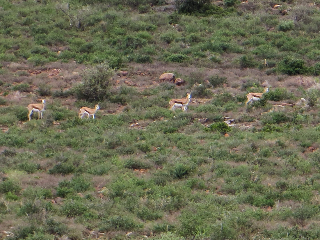 springbuck in Camdebo National Park