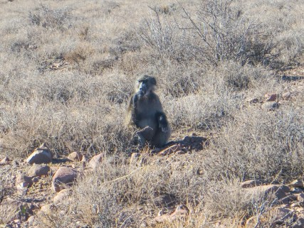 Baboon in the Karoo National Park