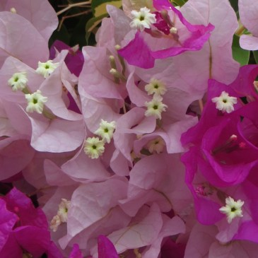 Graaff Reinet flowers