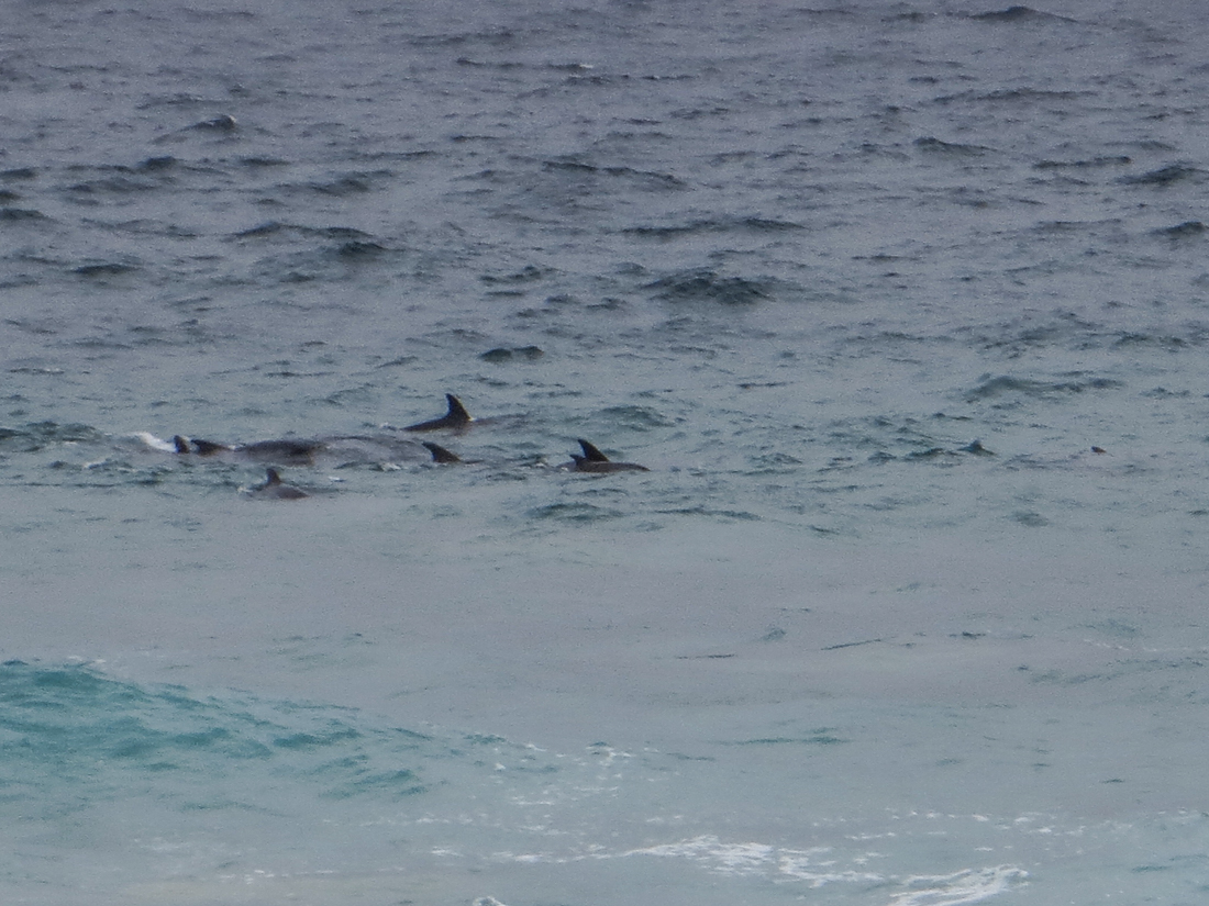 Dolphins at Seaview