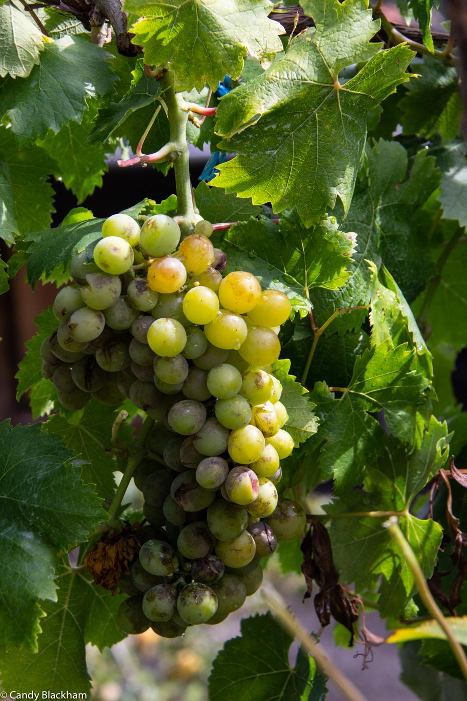 Grapes at the Church