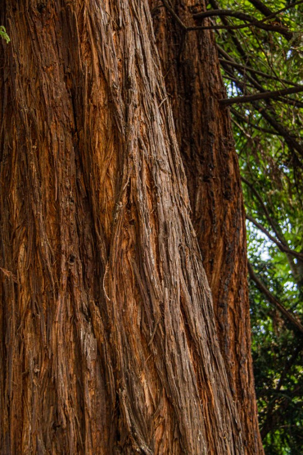 Redwood tree in the park
