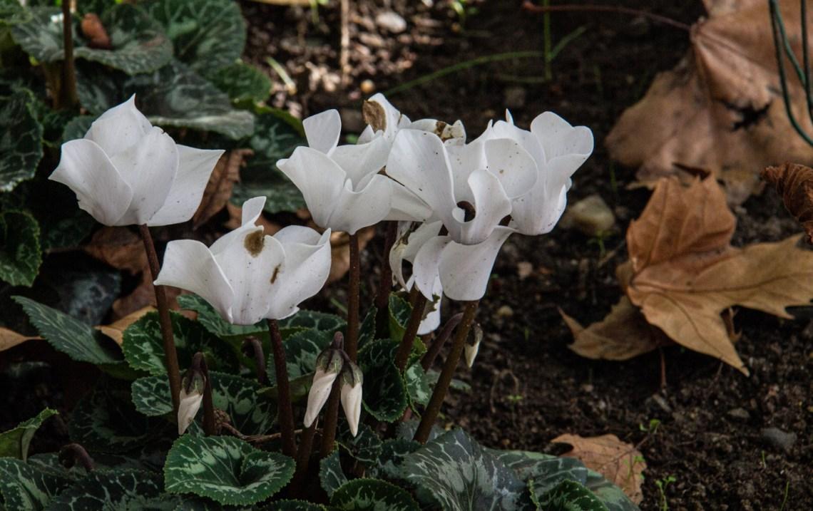 White cyclamens
