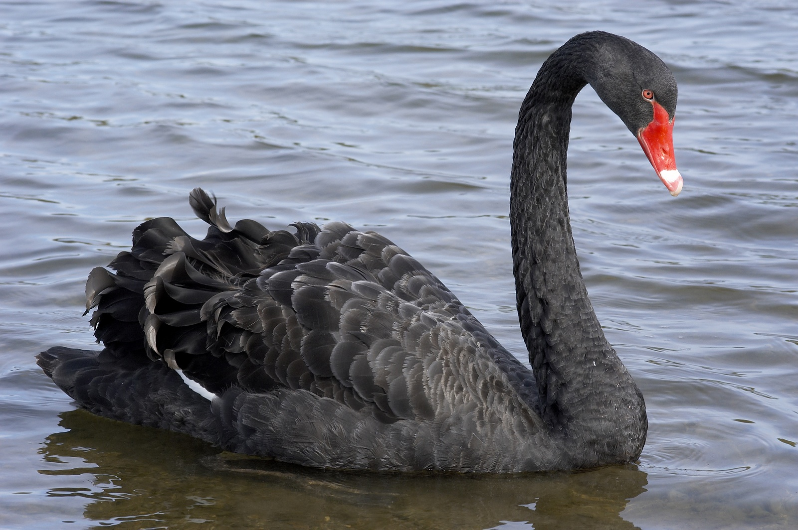 Black Swans Frequent Once In A Lifetime Crises Lone