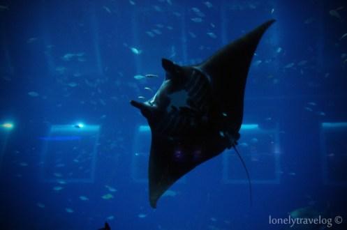 Majestic Manta Rays