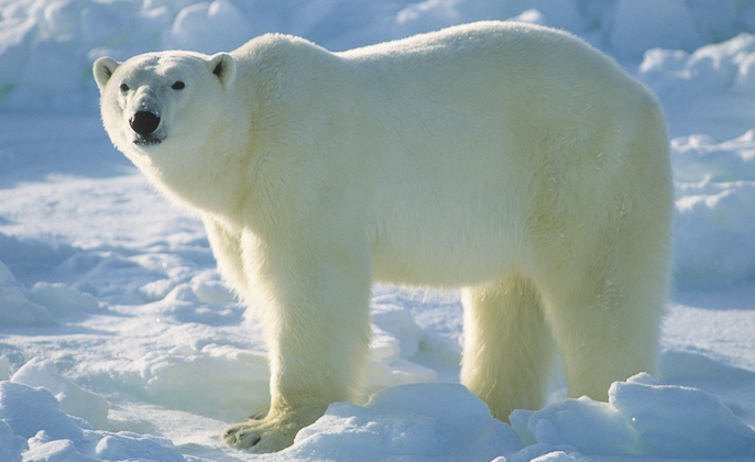 http://www.polarbearsinternational.org/