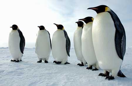 http://penguinstudies.org/wp-content/uploads/2013/11/emperors.jpg