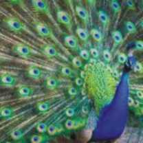 Peacock-Spirit-Animal-1-150x150