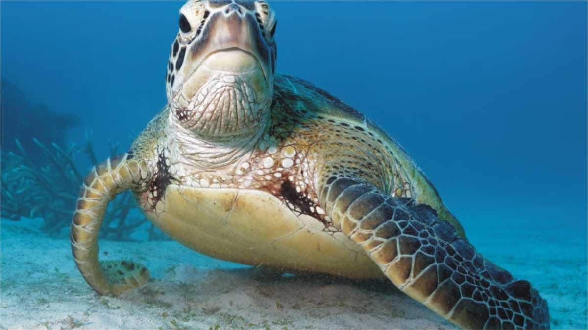 animal spirit turtle