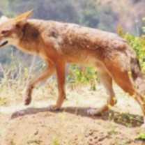 coyote-totem-300-150x150