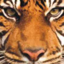 tiger-totem-300-150x150