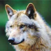 wolf-totem-300-150x150