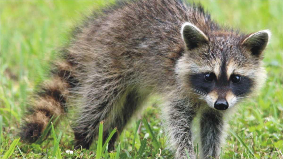 Animal Spirit Raccoon