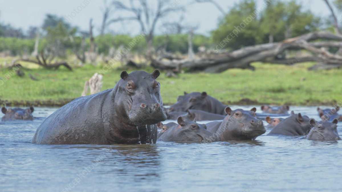 animal spirit Hippopotamus --Hippopotamus animal spirit