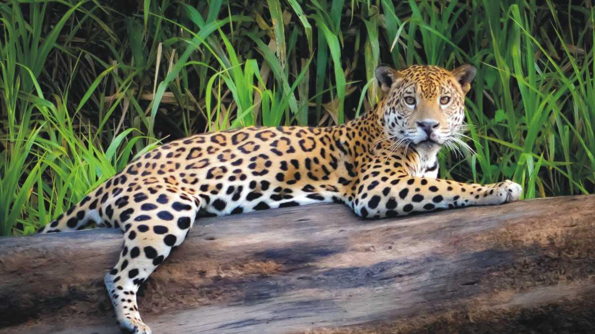 animal spirit jaguar -- jaguar spirit animal