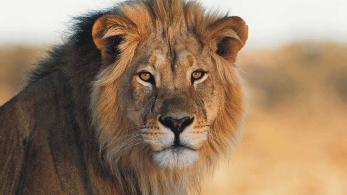 spirit animal lion meaning -- animal spirit lion