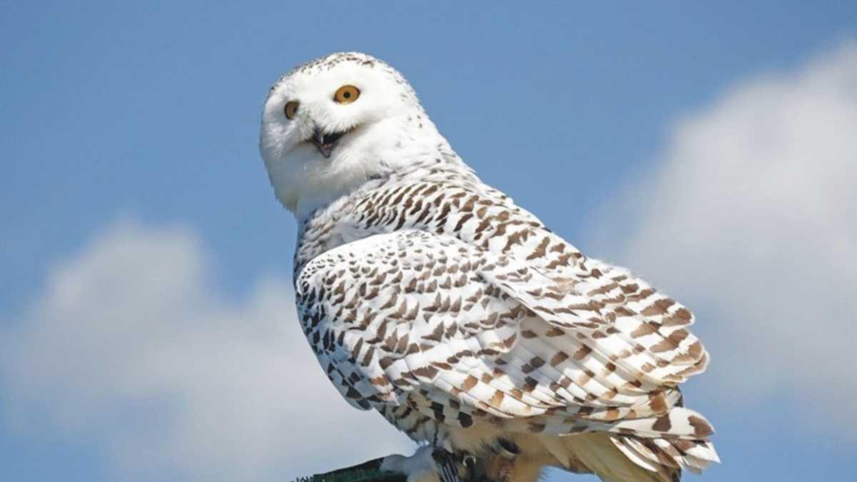 Owl Spirit Animal Meaning -- animal spirit owl