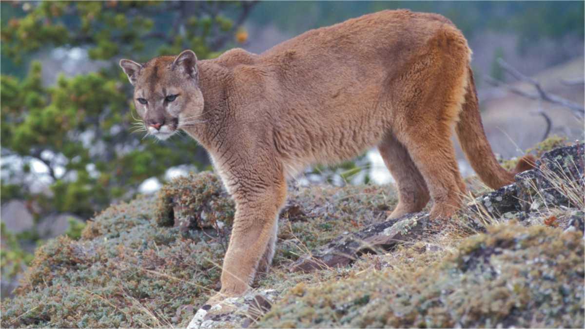 cougar spirit animal -- animal spirit cougar