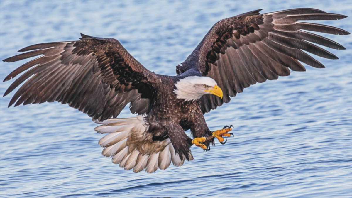 eagle spirit animal meaning - animal spirit eagle