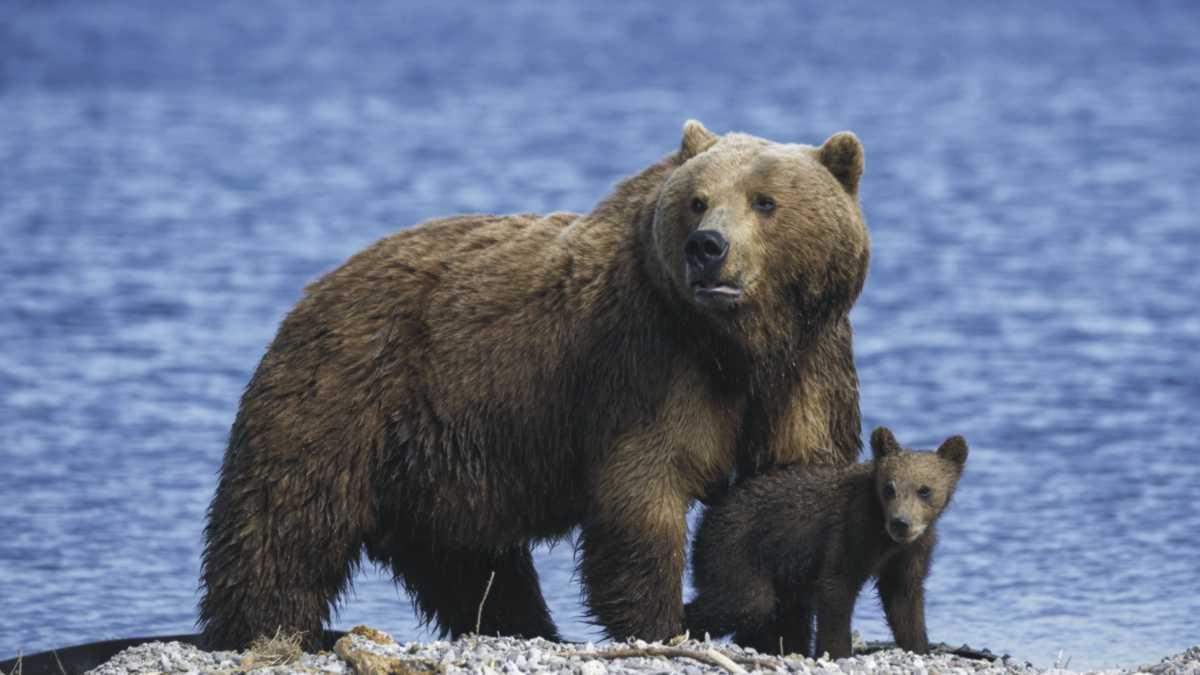 polar bear spirit animal meaning - animal spirit bear