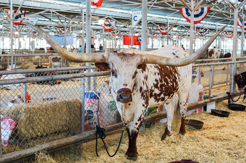 A Texas Longhorn at the State Fair of Texas.