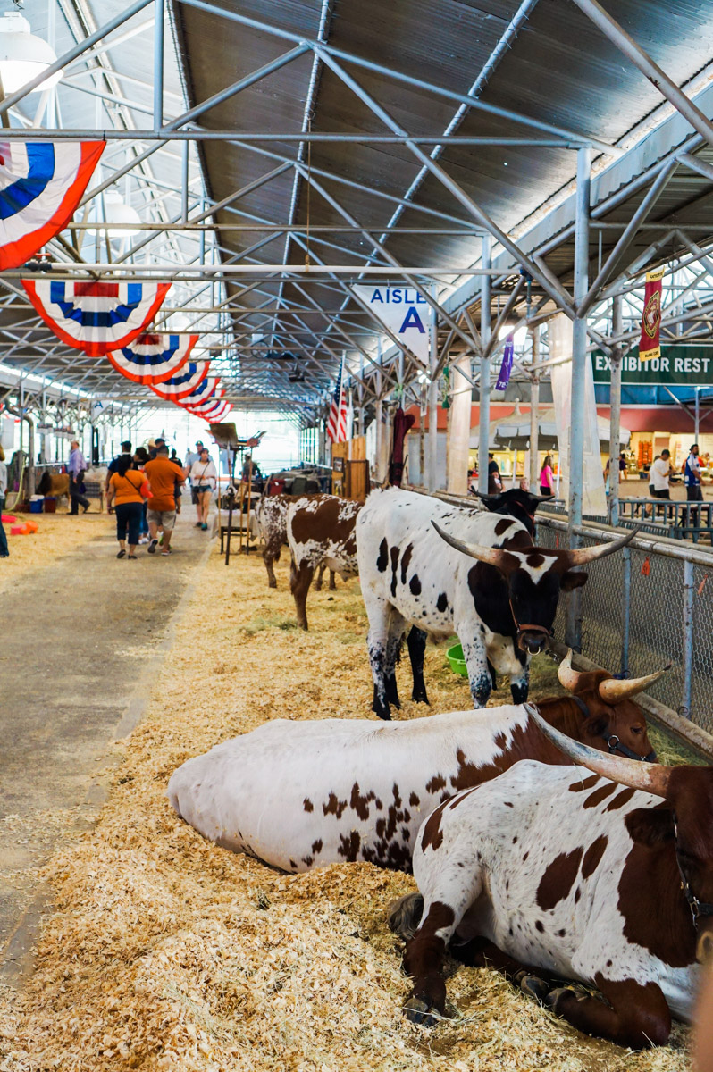 Texas Longhorns at the State Fair of Texas.