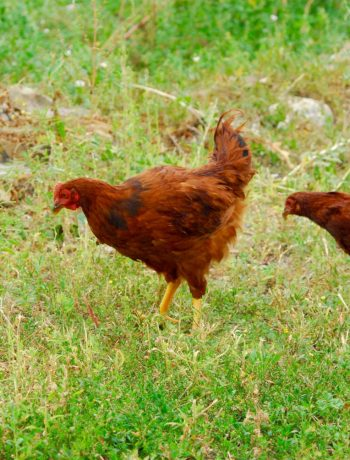 Rhode island red hen and rooster in a field.
