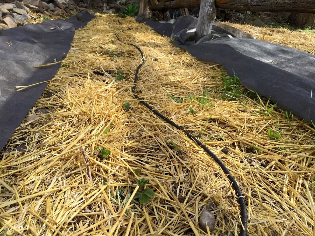 installing drip or soaker irrigation u2022 longbourn farm