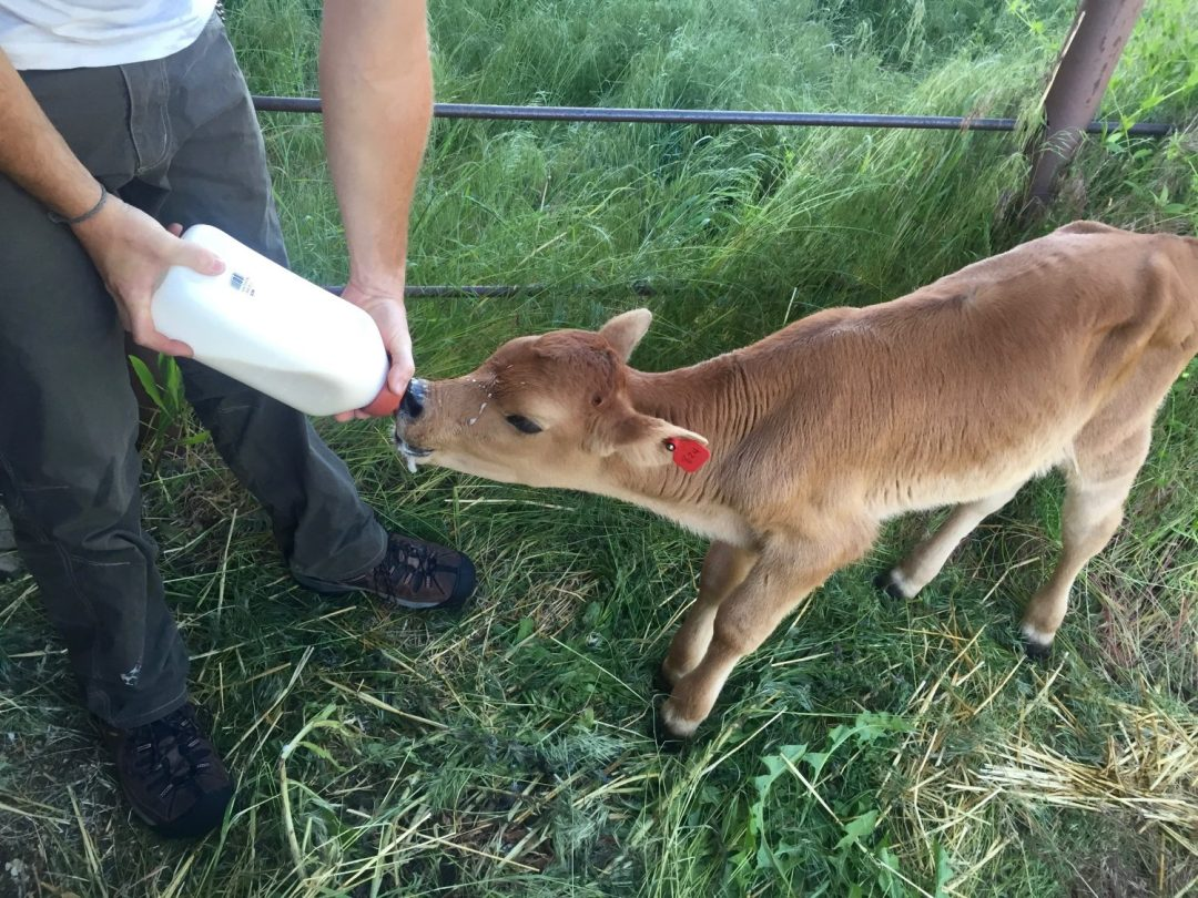 bottle feeding a calf