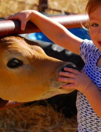 Small bucket calf smelling the hand of a boy.