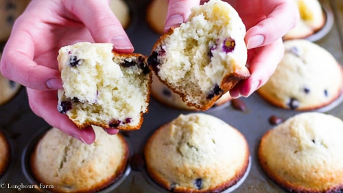 Breaking and easy blueberry muffin in half over a muffin tin full of blueberry muffins.