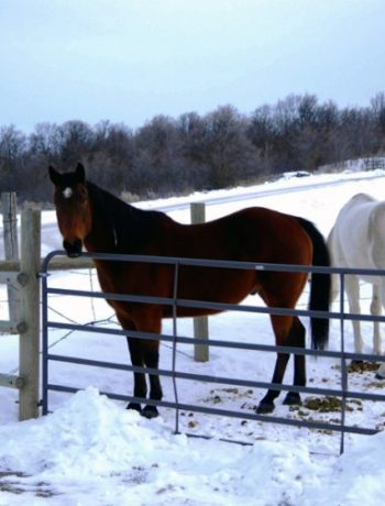 Bay horse looking over a fence with white horse eating in the background.