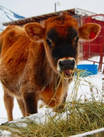 Steer eating hay in front of a red shed.