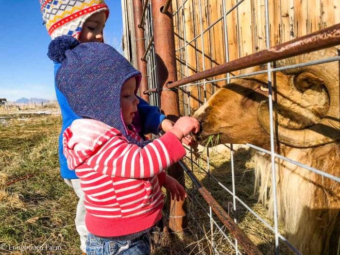Kids feeding an Icelandic ram through a cattle panel fence.