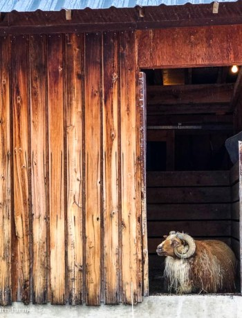 Icelandic sheep looking out of an old wooden barn door.
