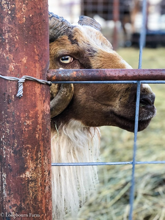 Icelandic ram looking sideways through a cattle panel fence.