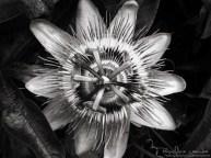 Passiflore - Photography by landcheyenne (3)