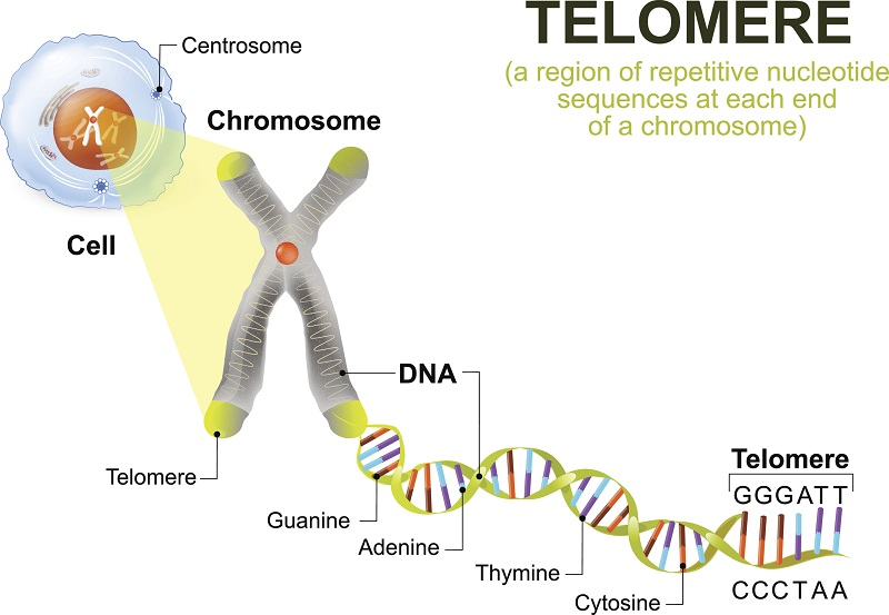 Telomere length and chronic diseases of aging.